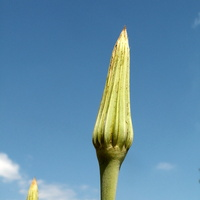 Pąk kwiatowy