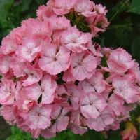 Pachnący różowy bukiecik