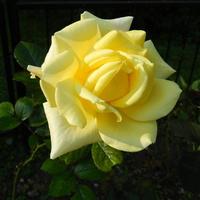 Słoneczna  róża