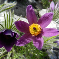 Sasanka fioletowa