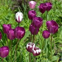 Tulipany wielokolorowe