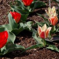 W maju będziemy podziwiać piękne tulipany.