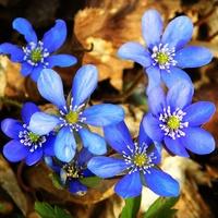 wiosenne błękity