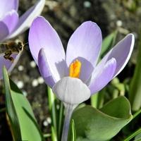 Z krokusami pokażą się pszczółki:)
