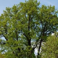 Zielone drzewo na tle nieba.