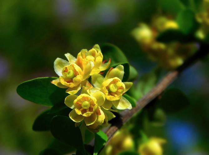 berberysowe kwiatki