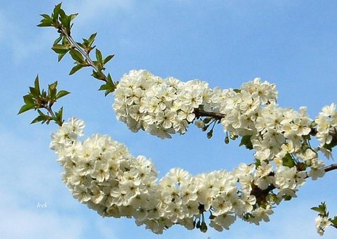 Dawniej wcześniej kwitły drzewa owocowe.