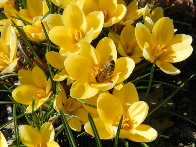 Krokusy żółte