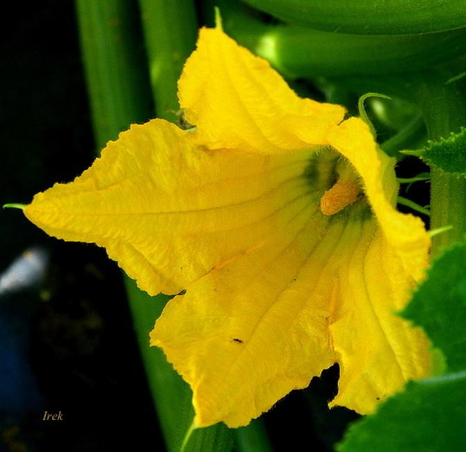 kwiat patisonu