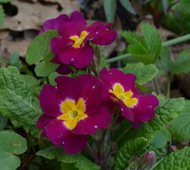 Kwiat wiosenny