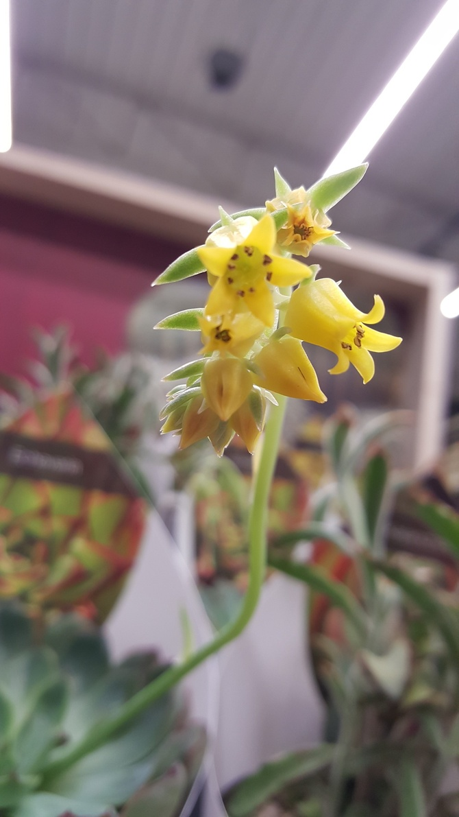 Kwiatek Eszewerii