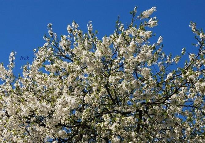 Kwitnące drzewo na moim osiedlu.