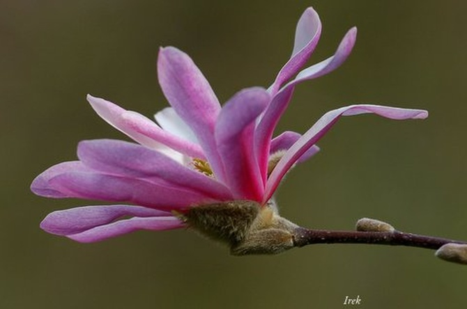 Magnolia podobna do fajeczki