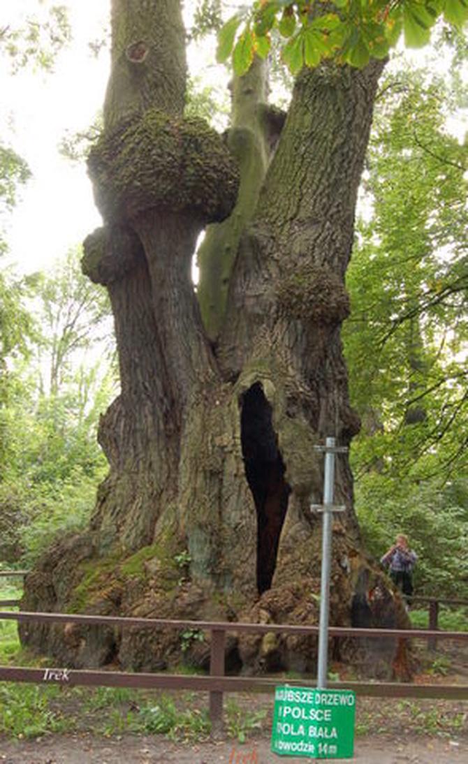 Najgrubsze drzewo w Polsce