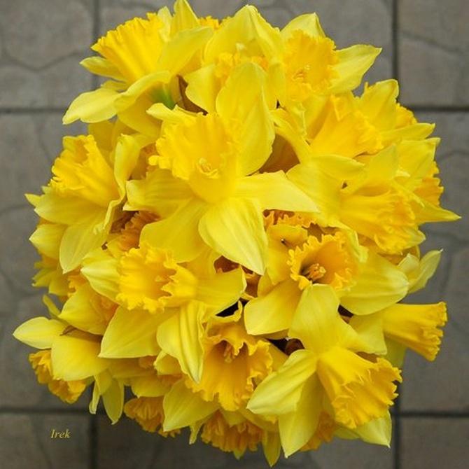 Żonkile, kwiaty wczesnowiosenne.