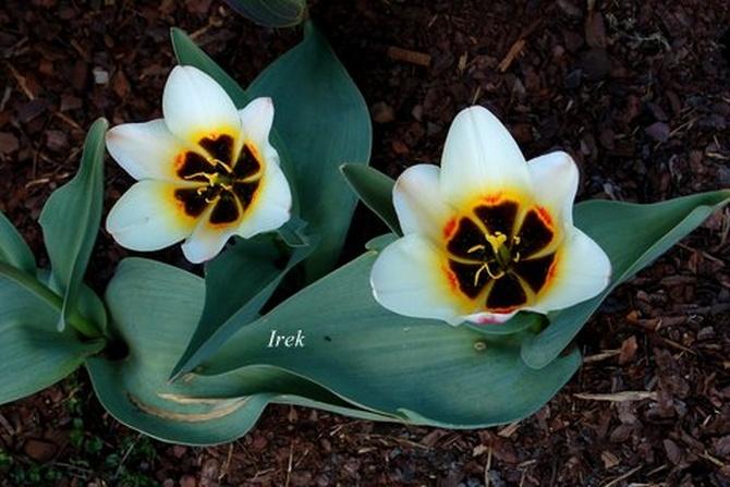 Oryginalne tulipany