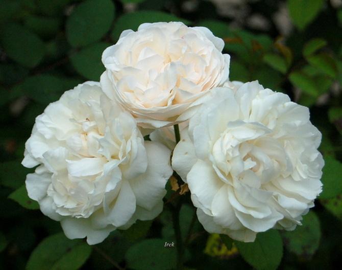 Prawie białe róże.
