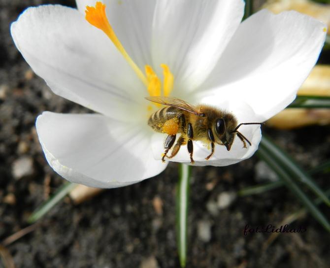 Pszczoła zbiera nektar