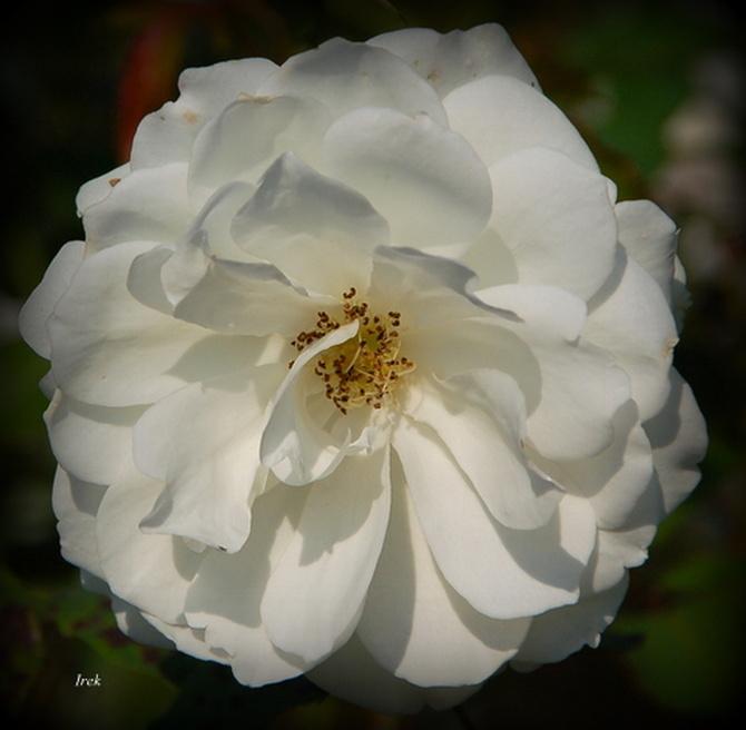 Róża bukietowa