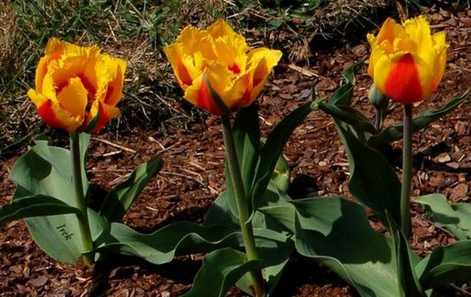 Tulipany wiosenne