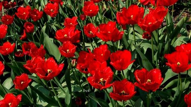 Wspaniałe tulipany