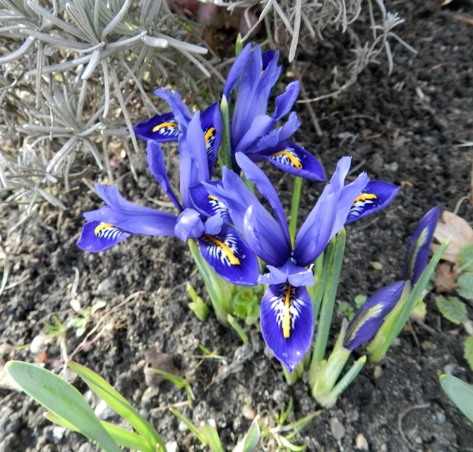 Zakwitły niebieskie iryski