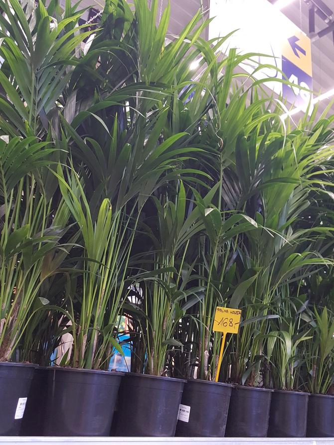 Zieleń palmowa.....