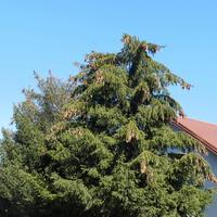 Drzewa iglaste
