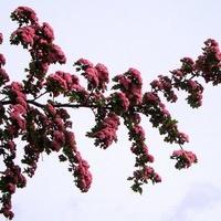 Głóg kwitnący