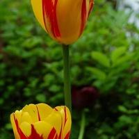Kolorowe tulipany (dobrze przechowane)