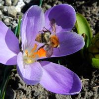 Krokus i pszczółka