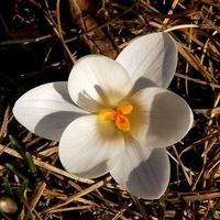 kwiat wiosenny dawniejszy niestety