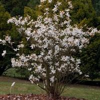 Młoda magnolia w OB