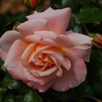 Młoda róża