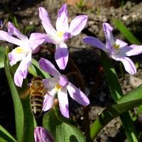 Nieodłączny duet, pszczółki i śnieżniki