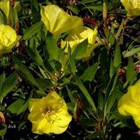 Żółte wiesiołki