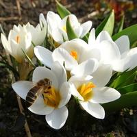 Pogoda bajeczna, to i pszczółki pracują :)