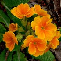 Prymulka pomarańczowa