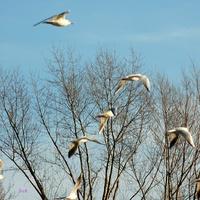 Przelot ptaków nad gołymi drzewami