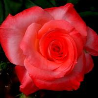 Róża na dobry sen