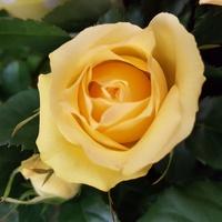 róża ......