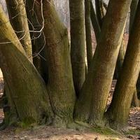 Rodzina drzew dębowych w puszczy