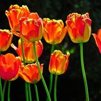 tulipanki ...