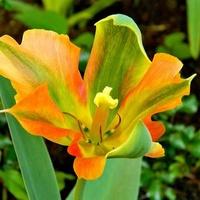 Tulipanowy wieczór:)