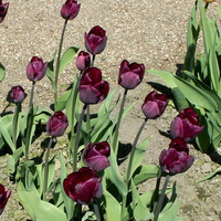 Tulipany ciemno-bordowe