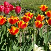 Tulipany dwukolorowe