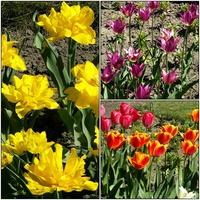 Tulipany ,kwiaty wiosny