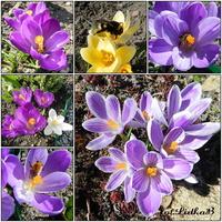 Wiosna,krokusy i pszczoły