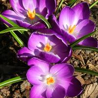 Wiosna ,kwitną krokusy