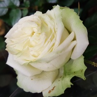 Zielonkawa róża...